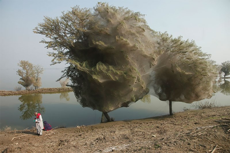 Trees Cocooned in Spiders Webs Were Spotted After The Massive Floods In Pakistan | trees around a lake covered in white webs