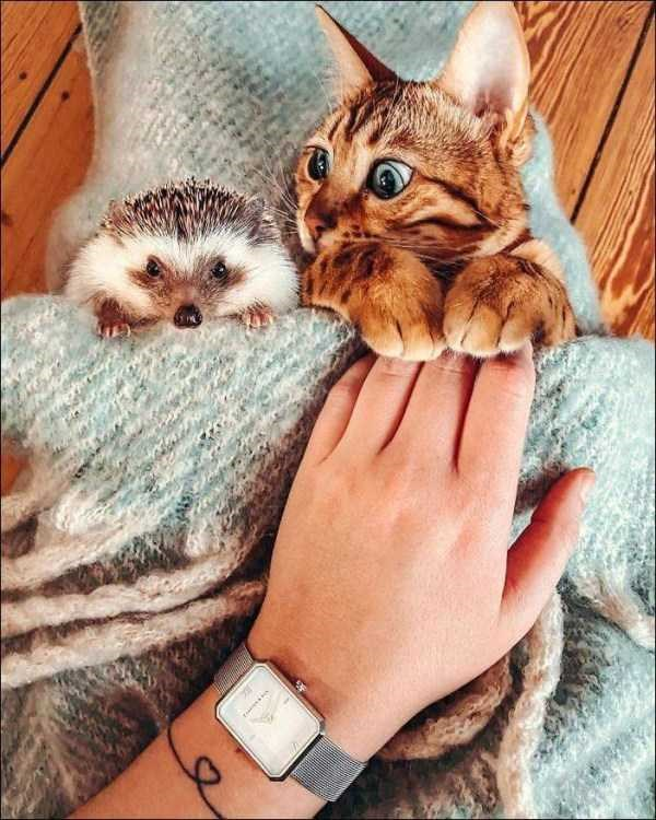 Amazing animal photos | adorable cute pic of an orange kitten and a hedgehog lying together under a blanket getting tucked in by a human hand