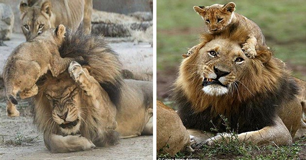 lion dads cubs parenting aww cute funny lol animals | pic of a lion cub jumping on top of a grown lion's head and the lion scrunching its face | adorable photo of a cub climbing and sitting on a lion's head