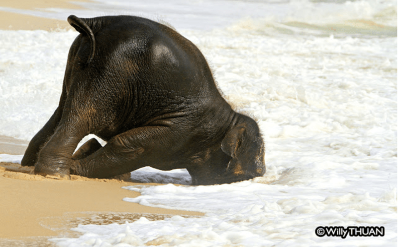 Baby elephant at the beach   cute photo of a baby elephant playing in sand and sticking its face under water waves washing on the beach