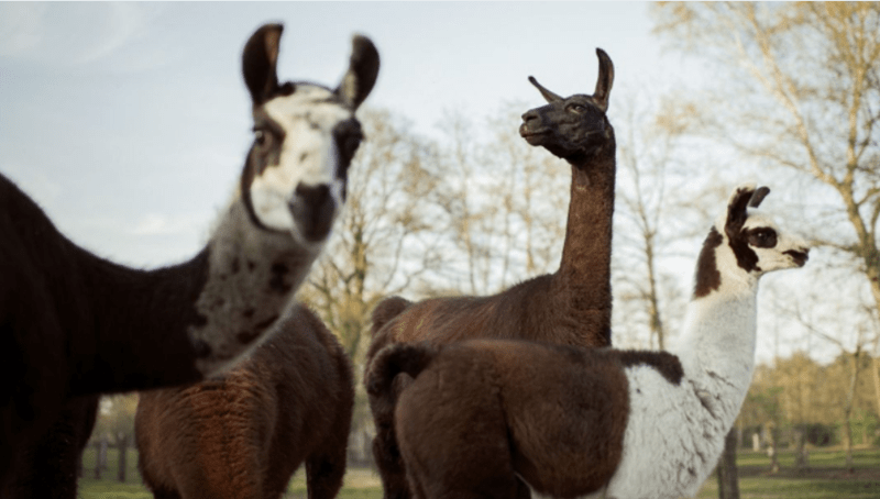 scientists working to cure covid-19 coronavirus using antibodies from a llama | four cute llamas in different colors brown and white standing together with the closest one staring at the viewer