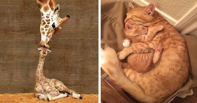 mothers day mom animals love aww cute | adorable photo of a ginger mama cat sleeping cuddled up with her baby kitten | giraffe mom bending down to kiss the head of a tiny baby giraffe sitting on the ground