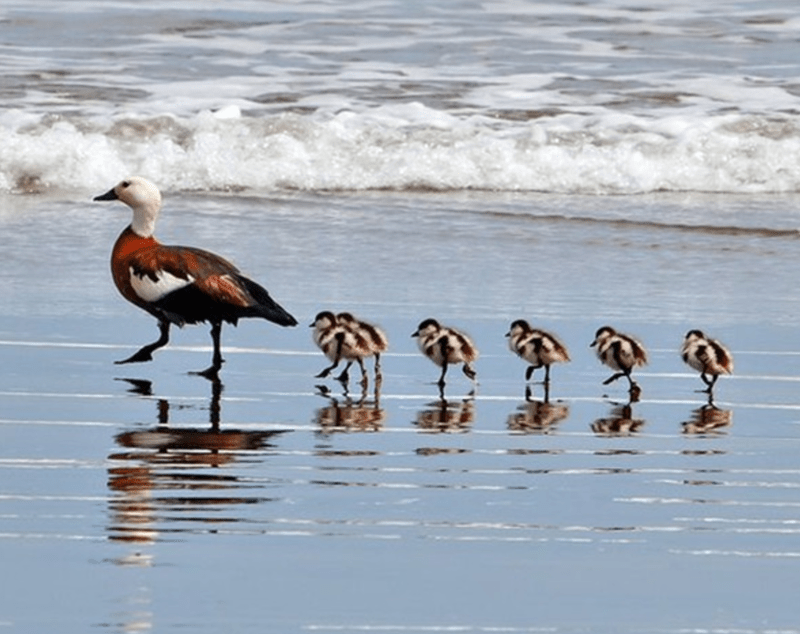 Precious Baby Animals Following Their Moms | cute photo of baby chicks walking in a row behind their mama bird along a shoreline beach