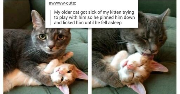 cats cute funny memes aww animals lol cat | awwww-cute: My older cat got sick my kitten trying play with him so he pinned him down and licked him until he fell asleep Source: awwww-cute