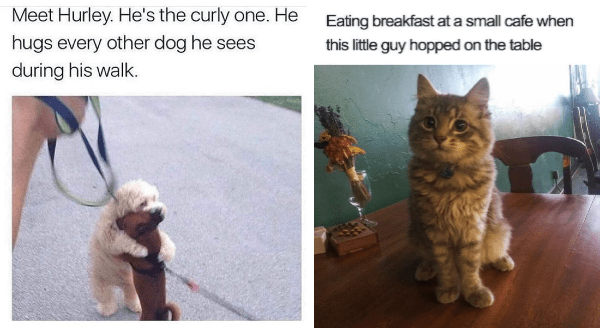 Wholesome animal memes | Meet Hurley. He's curly one. He hugs every other dog he sees during his walk. | adorable fuzzy cat with big round eyes Eating breakfast at small cafe this little guy hopped on table