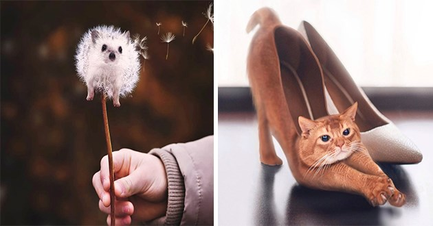 art photography animal illusions artist amazing stunning | hedgehog photoshopped as a dandelion blowing in the wind | cute orange cat stretching its butt out edited as a high heeled shoe
