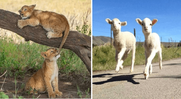 Amazing animal photos | cute photo of a baby lion cub sitting on a low branch with its tail dangling down and a second cub biting its | two adorable white lambs walking in unison