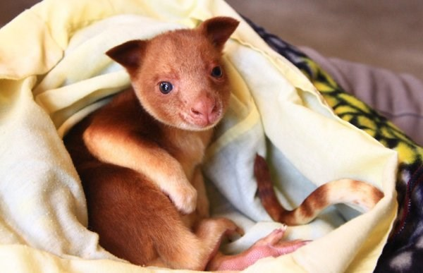 tree kangaroo animals cute aww adorable wildlife australia | fuzzy brown mammal baby with a pink nose and a long tail swathed snuggled in a soft blanket