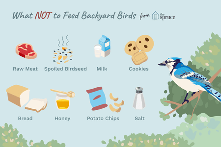 top ten daily infographics guides | Blue jay - NOT Feed Backyard Birds spruce Raw Meat Spoiled Birdseed Milk Cookies Bread Honey Potato Chips Salt