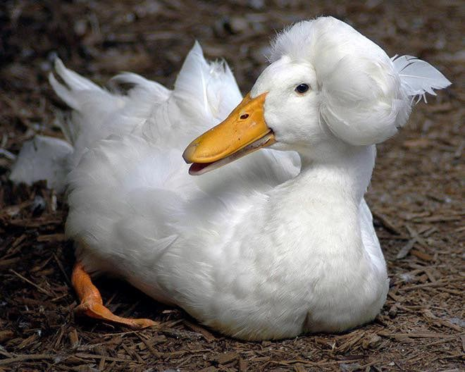 Ducks That Look Just Like George Washington | funny white duck with a fluff of feathers on top of its head like an old timey wig