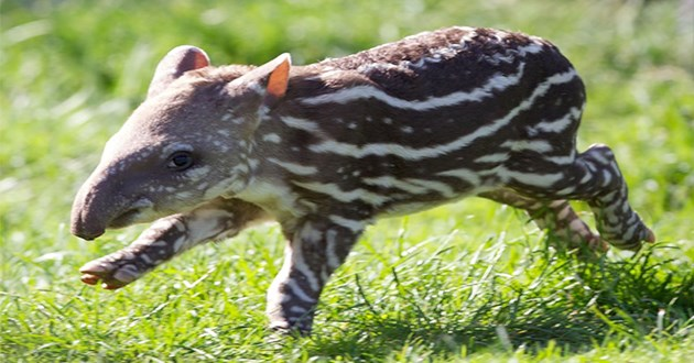 tapir tapirs cute aww animals vids gifs pics | adorable baby tapir with white stripes running in a green grass field