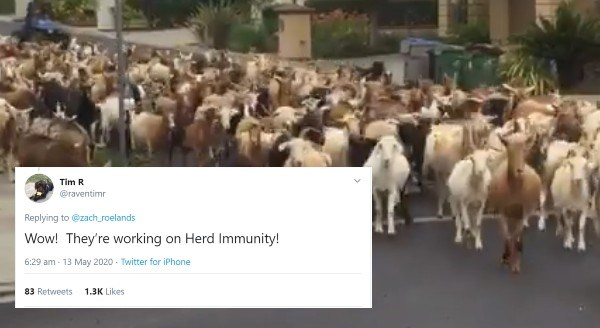 Goats Break Out And Roam Free In Local Streets Of San Jose, California | Tim R @raventimr Replying zach_roelands Wow! They're working on Herd Immunity! 6:29 am 13 May 2020 Twitter iPhone 83 Retweets 1.3K Likes >
