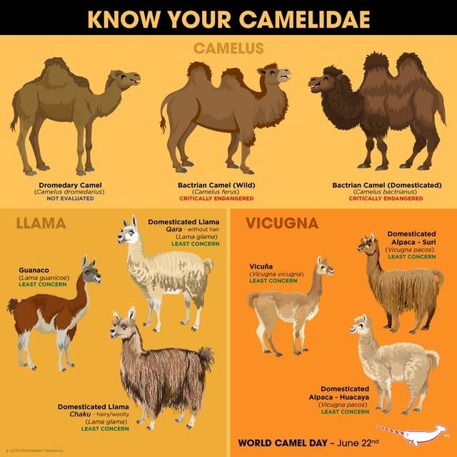 top ten daily infographics guides | Camel - KNOW CAMELIDAE CAMELUS Dromedary Camel (Camelus dromedarius) NOT EVALUATED Bactrian Camel (Wild Camelus ferus) CRITICALLY ENDANGERED Bactrian Camel (Domesticated Camelus bactrianus) CRITICALLY ENDANGERED LLAMA VICUGNA Domesticated Llama Qara without hair (Lama glama) LEAST CONCERN Domesticated Alpaca Suri (Vicugna pacos) LEAST CONCERN Vicu Vicugna vicugna) LEAST CONCERN Guanaco (Lama guanicoe) LEAST CONCERN Domesticated Alpaca Huacaya (Vicugna pacos) L