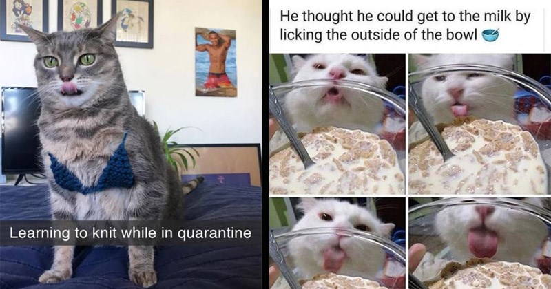 Funny cat memes | cat wearing a yarn bikini Learning knit while quarantine | He thought he could get milk by licking outside bowl