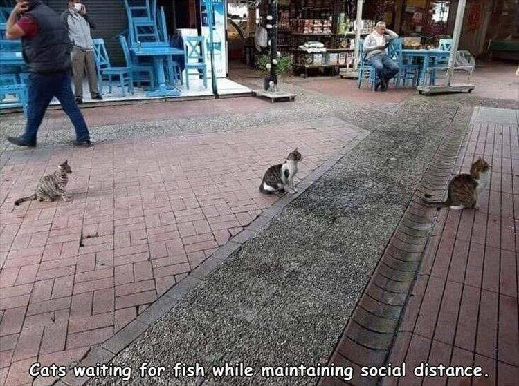 Fresh animal memes | Cats waiting fish while maintaining social distance | cats sitting in a row in a street as if they're lining up with some distance between them