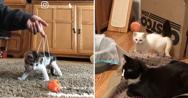cats instagram video funny cat aww animals lol cute | cute kitten held up supported by a tiny hammock while playing with a ball | a white kitten watching a cat sitting in a basket