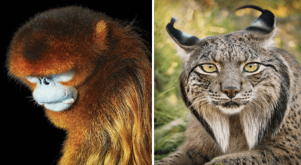 photos of endangered animals | Golden snub nosed monkey with reddish brown fur and a blue face | Iberian lynx wild cat with pointy ears and a tufts of fur under its chin
