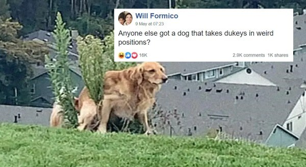 Funny Thread About Dogs Pooping Weird | Will Formico May 9 at 7:23 AM Anyone else got dog takes dukeys weird positions? funny golden retriever sitting on top of a bush