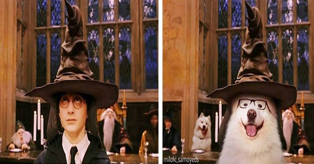 movies actors samoyed dogs lol funny aww cute animals photoshop famous | frame from the first Harry Potter movie of Harry wearing the sorting hat and a second frame where Harry is replaced by a big furry white dog in glasses
