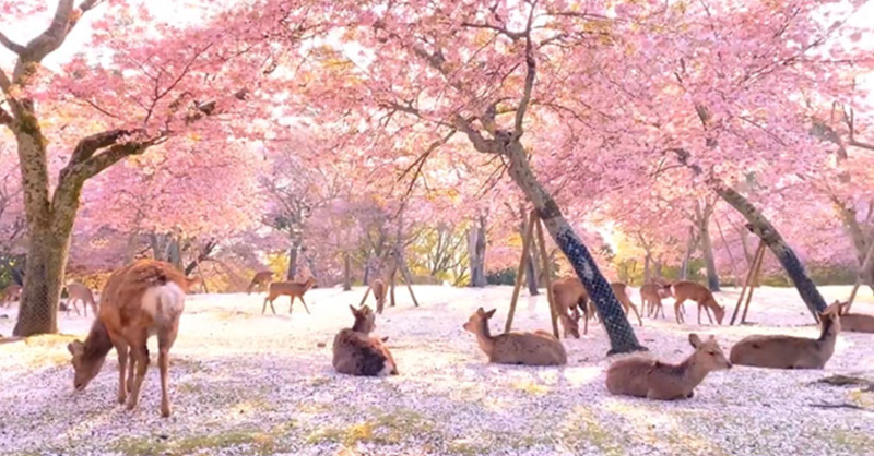 A Beautiful Video Of Deer Enjoy Cherry Blossoms In An Empty Park In Japan Goes Viral | cute group of deer sitting among fallen flower petals on the ground under blooming trees