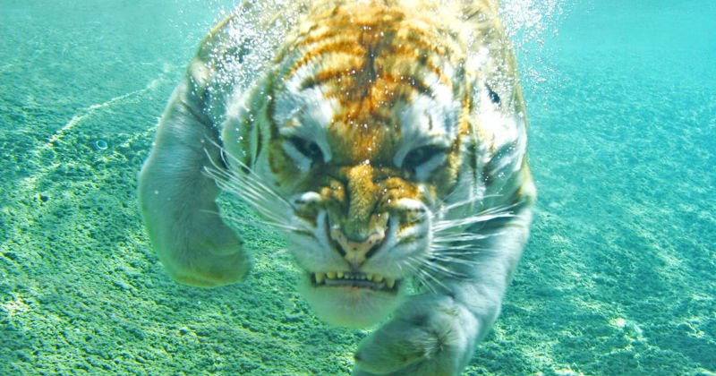 swimming tiger photoshop battle