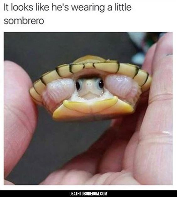 Funny turtle memes | looks like he's wearing little sombrero DEATHTOBOREDOM.COM tiny turtle peeking its head out from its shell held between two fingers