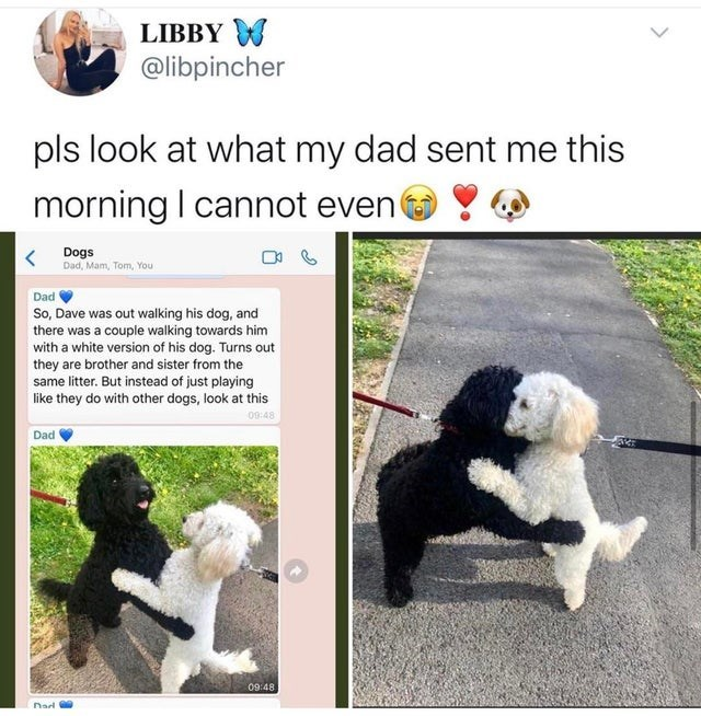 top ten daily white people tweets | Dog - LIBBY W @libpincher pls look at my dad sent this morning cannot even Dogs Dad, Mam, Tom Dad So, Dave out walking his dog, and there couple walking towards him with white version his dog. Turns out they are brother and sister same litter. But instead just playing like they do with other dogs, look at this 09:48 Dad 09:48 Nad