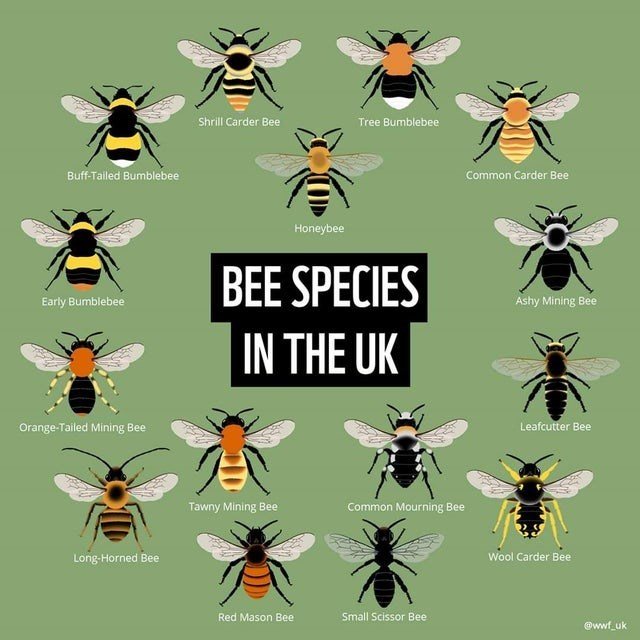 top ten daily infographics guides | Insect - Shrill Carder Bee Tree Bumblebee Buff-Tailed Bumblebee Common Carder Bee Honeybee BEE SPECIES Early Bumblebee Ashy Mining Bee UK Orange-Tailed Mining Bee Leafcutter Bee Tawny Mining Bee Common Mourning Bee Long-Horned Bee Wool Carder Bee Red Mason Bee Small Scissor Bee @wwf_uk