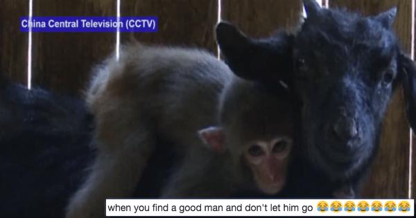 twitter goats cute monkey - 1153797
