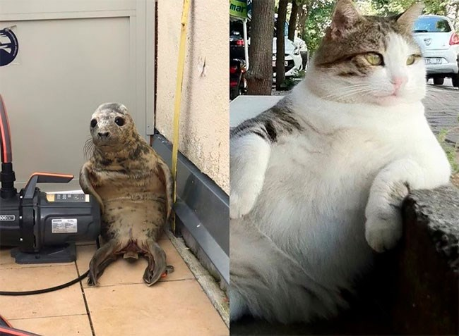 Seal pup gets The Photoshop Treatment   a seal sitting in a corner of a room on its backside   chonky cat lounging against the sidewalk with a paw across it resembling a human