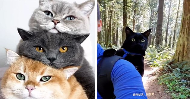 cats uplifting gifs cute funny lol animals adorable wholesome aww | three cats in a pile grey black and orange on top of each other | cute black cat peeking from the backpack of a person hiking in a forest