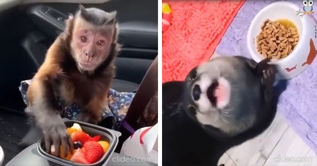 noms animals gifs hungry food aww cute eating | tiny monkey sitting in the passenger seat of a car reaching into a plate of cut fruit | cute otter excited over a bowl of food