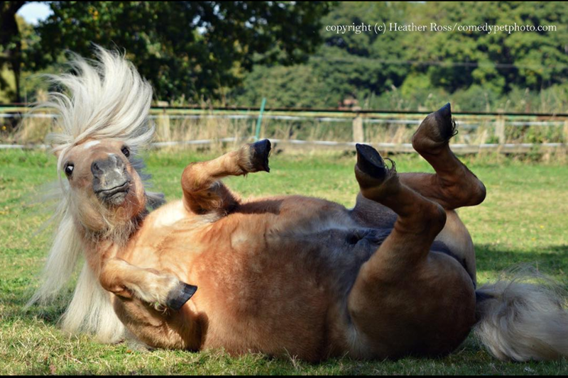 The 2020 Comedy Pet Photo Award Is Back And Here Are Some Pics From Previous Years | copyright (c) Heather Ross/comedypetphoto.com cute funny pic of horse with a long mane rolling on its back in the grass with its legs in the air