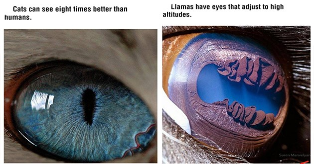 animal insect eyes facts wtf crazy interesting cool wow pics | Cats can see eight times better than humans | Llamas have eyes adjust high altitudes. Suren Manvelyan zoomed in closeup micro photography
