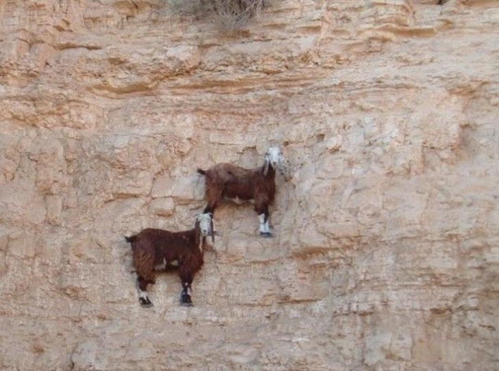mountain goats gravity crazy animals whoa pics climbing | two goats climbing up a vertical rocky mountain surface cliff cool amazing photograph