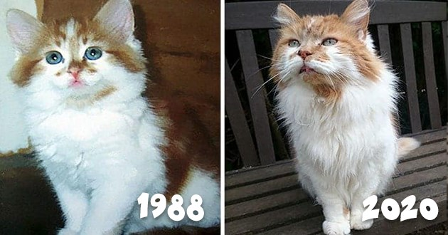 cat rubble oldest birthday happy aww cute cats old world record | pic of a cute kitten with orange and white fur dated 1988 and pic of the same cat 32 years later in 2020