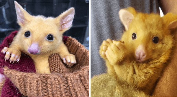 Meet The Rare Golden Possums Of Australia | cute marsupial with yellow golden fur and a pink nose snout and pointy ears