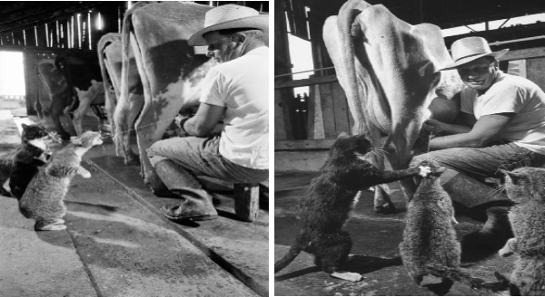 Vintage cat photos | black and white photography funny pic of a farmer milking a cow and squeezing an udder so that a stream goes straight into a cat's mouth
