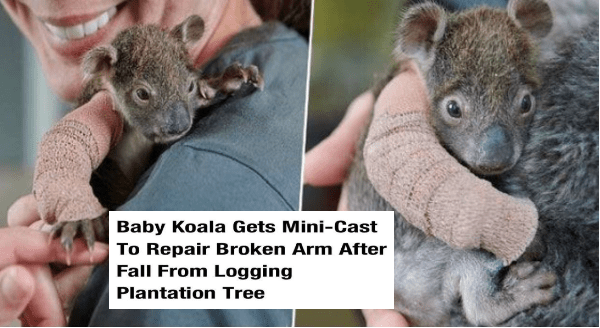 Wholesome animal memes | UNILAD Follow ANIMALS Baby Koala Gets Mini-Cast Repair Broken Arm After Fall Logging Plantation Tree By Emma Rosemurgey August 4, 2019 2 min read