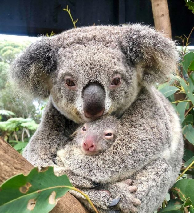 koala australia life animals aww cute birth hope baby | koala mom mama snuggling cuddling a baby newborn koala bear with a pink nose