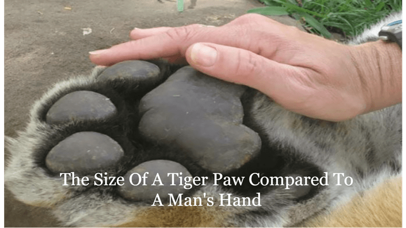 Fascinating Comparison Images That Prove Perspective Is Everything | Size Tiger Paw Compared Man's Hand human hand on top of a huge big cat paw