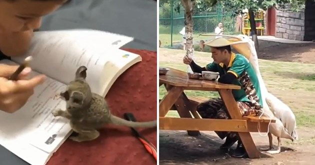 animals gifs wholesome funny lol cute aww animal uplifting | adorable little sugar glider playing with a person reading from a notebook | pelican placing its beak on top of a person's head