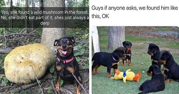 dog doggo memes funny dogs animals lol aww cute | Yes, she found wild mushroom forest. No, she didn't eat part shes just always derp | Land cuteness @landpsychology Guys if anyone asks found him like this, OK group of puppies surrounding a plushie stuffed toy