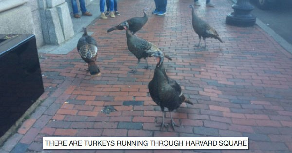 Turkeys Are Wreaking Havoc on Boston in What Appears to Be an Early Protest to Thanksgiving