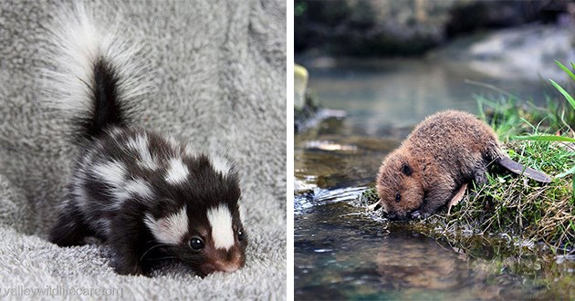 skunks beavers baby animals aww cute adorable pics photos | very cute baby skunk with its tail fluffed up | tiny baby beaver leaning into a water stream