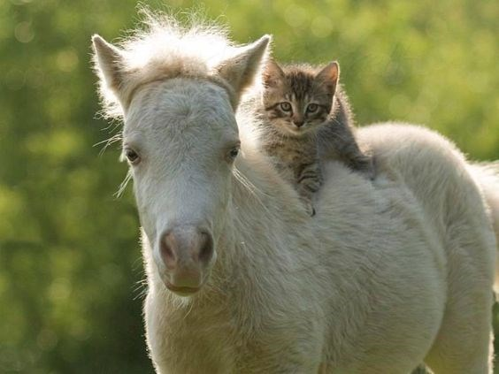 Cats riding horses | grey cat sitting on a white horse's back as if its riding it