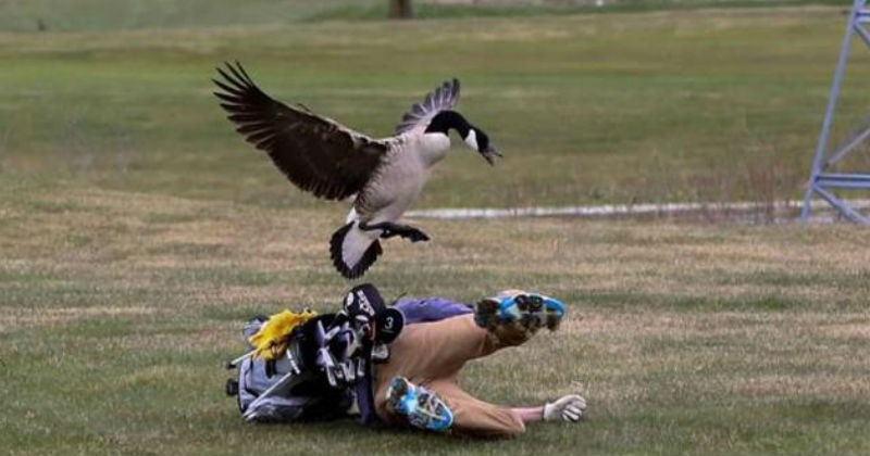 moments of failure and chaos | funny fail pics taken at the right moment perfect timing bird goose flying over jumping on top of a person golfer crashing to the ground