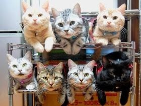 Best ways to organize cats | adorable cute pic of seven different colored cats sitting on a shelf unit arranged neatly three on the top shelf and four on the bottom shelf little feet paws hanging down