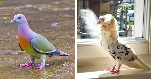pigeons birds beautiful strange animals birb interesting cool | Pink Necked Green Pidgeon very colorful pigeon with green wings orange chest | Old Dutch Capuchine white bird with black spots