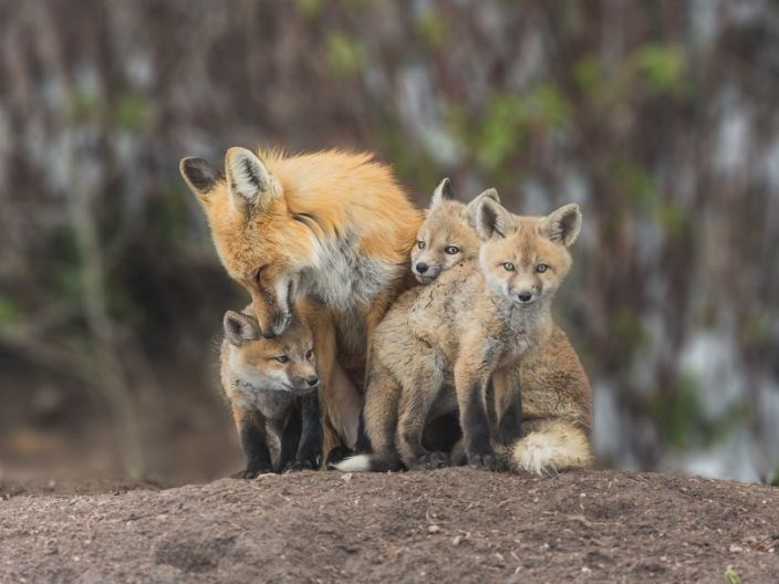 foxes wild city domestication domesticated animals city urban red fox study skulls | family of foxes mama fox and her three cubs babies standing together on a hill